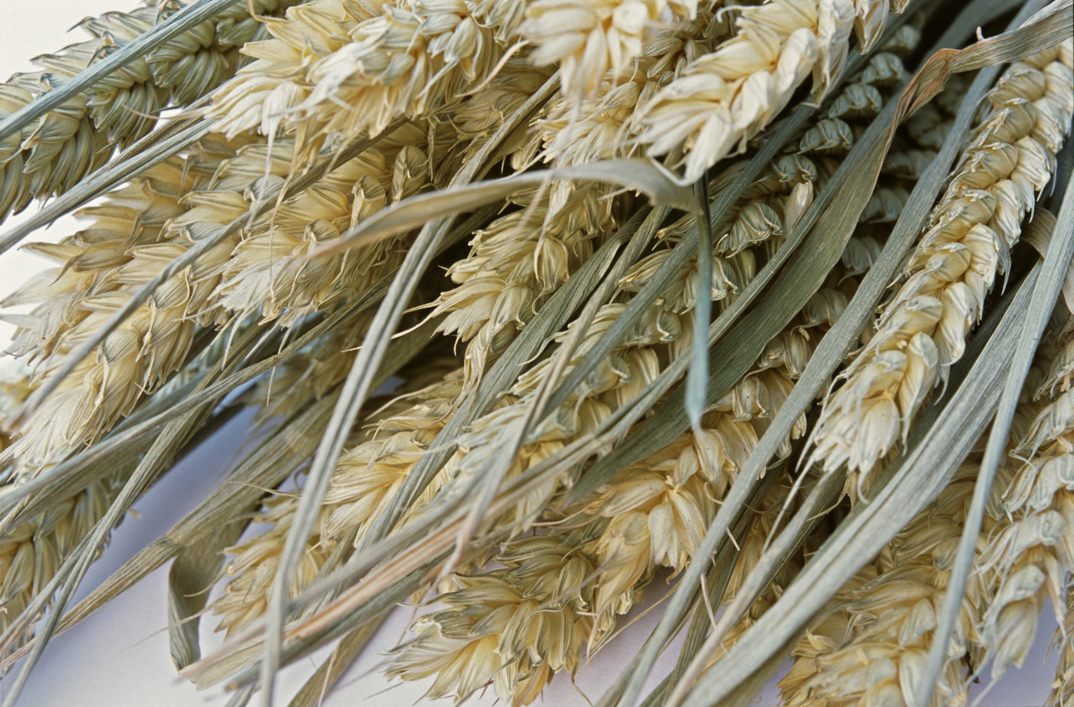 Close up of ripe harvested ears of wheat, a staple ingredient in cooking