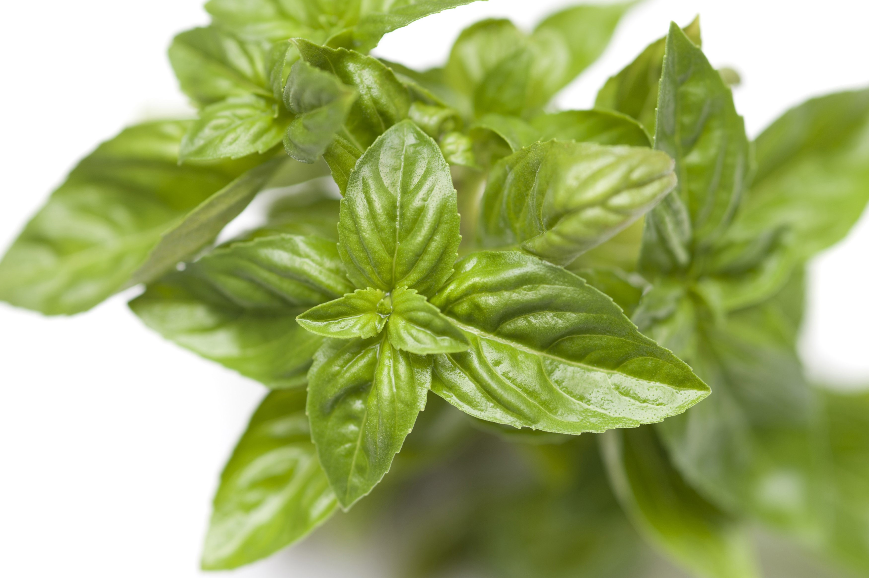 Close up view of fresh basil leaves used extensively in cooking as a garnish and as a potherb for seasoning and savoury dishes