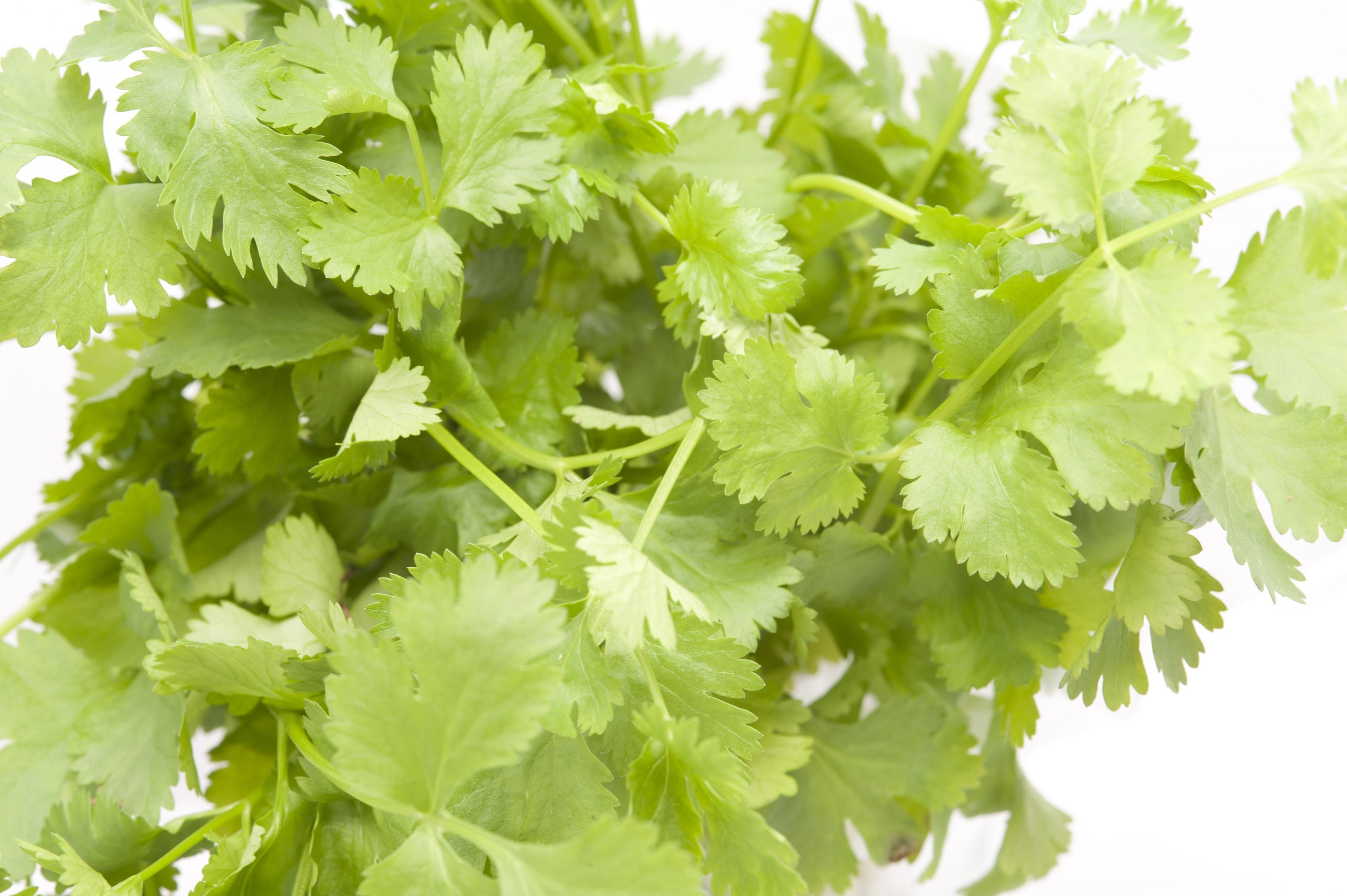 Closeup of fresh green coriander leaves for use as a potherb for seasoning and flavouring in cooking and as a garnish