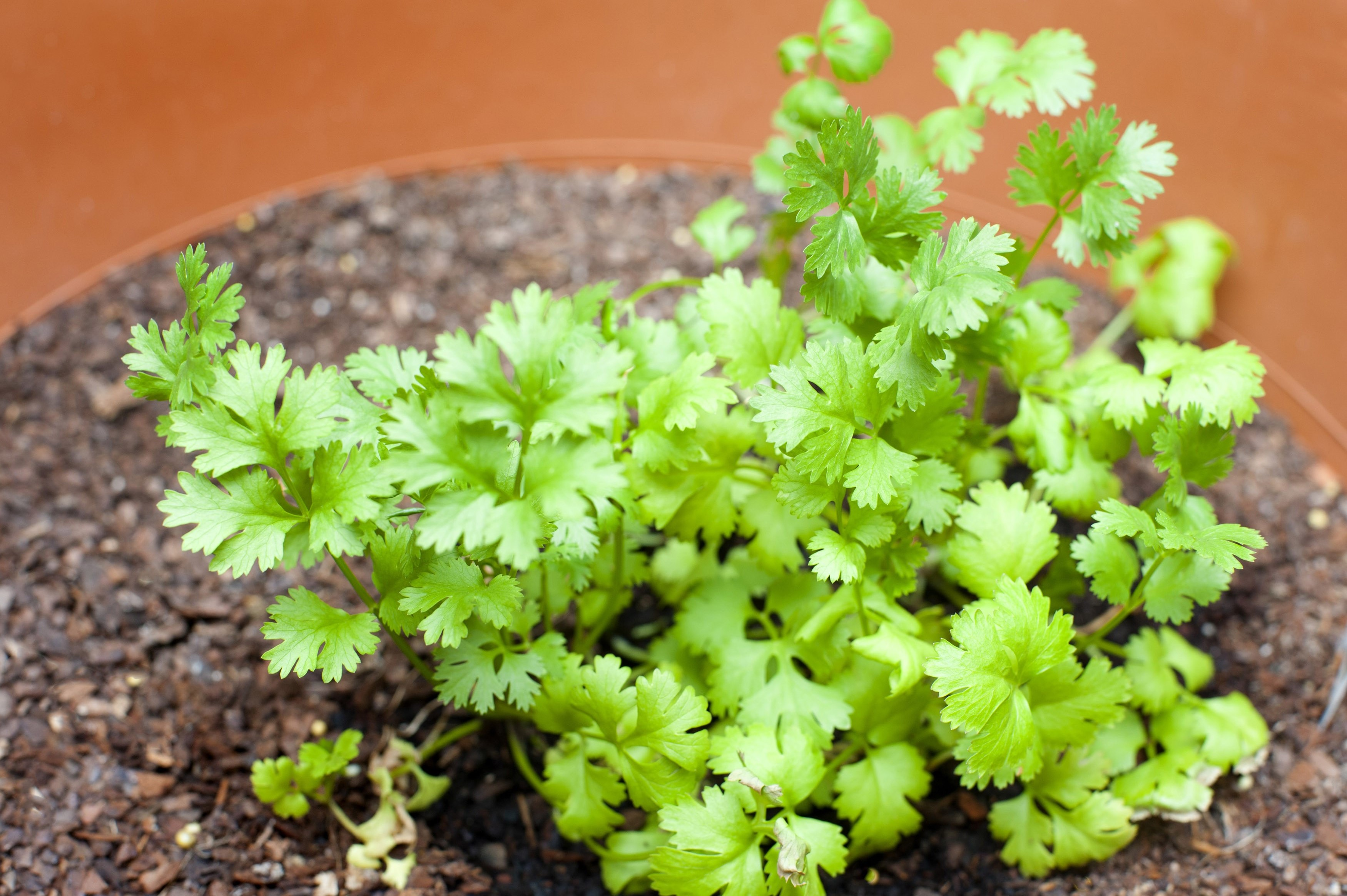Fresh coriander gowning in a pot used as a seasoning and flavouring in cookery and a garnish