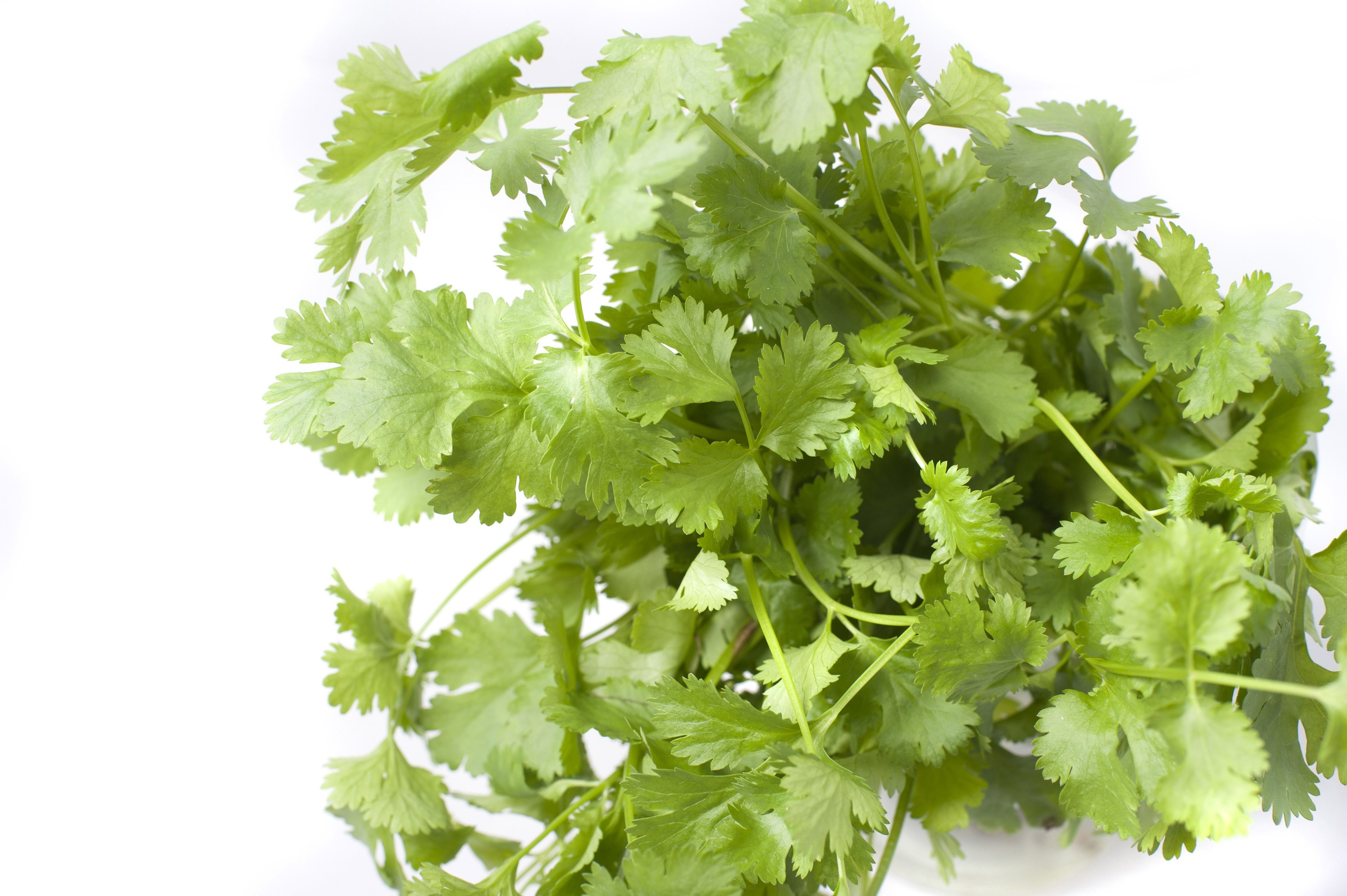 Pile of fresh coriander leaves, or Coriandrum sativum, used in cooking as a seasoning and garnish on a white background