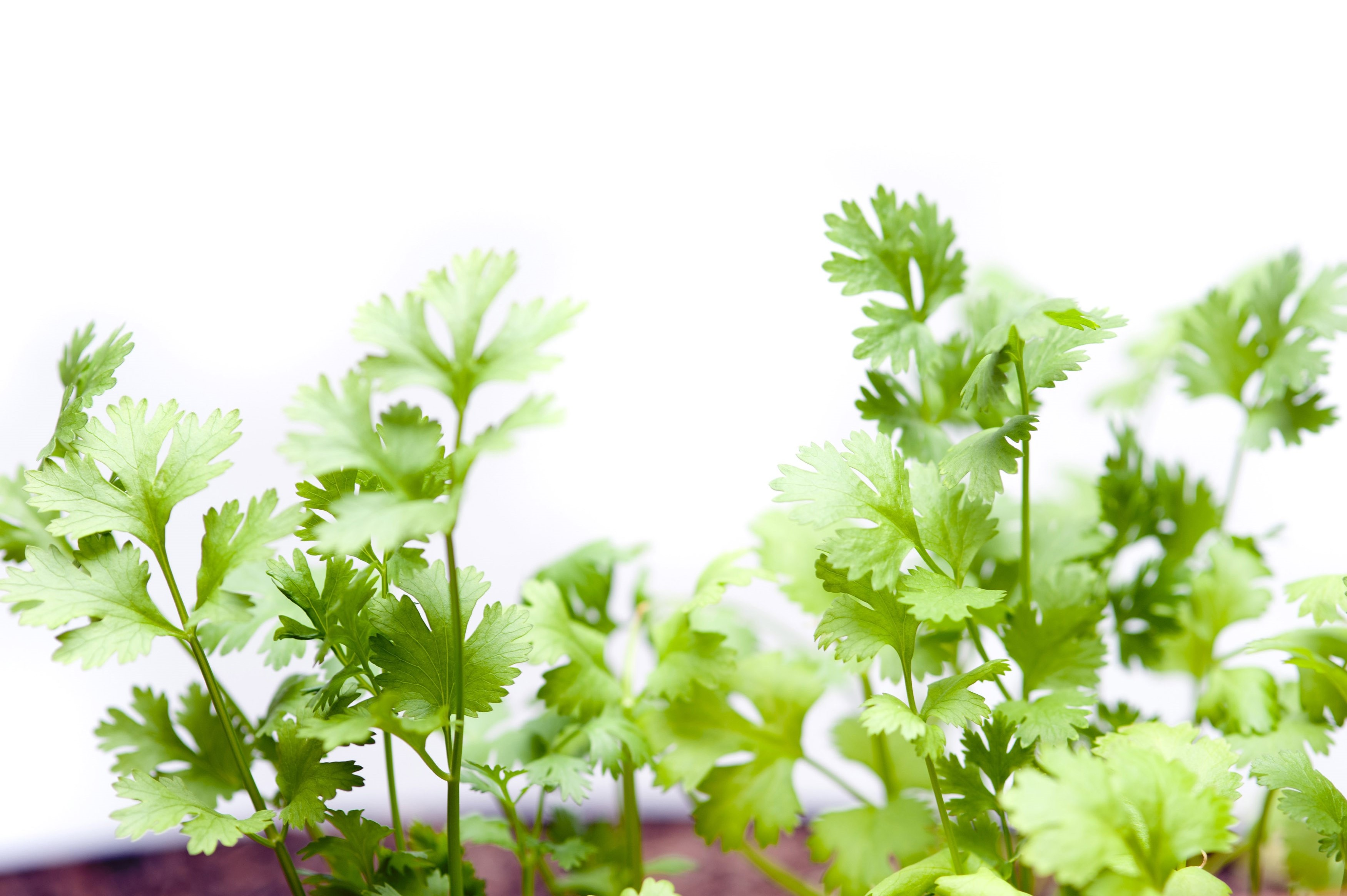 Fresh coriander plants growing in a container with close up detail of the leaves over white