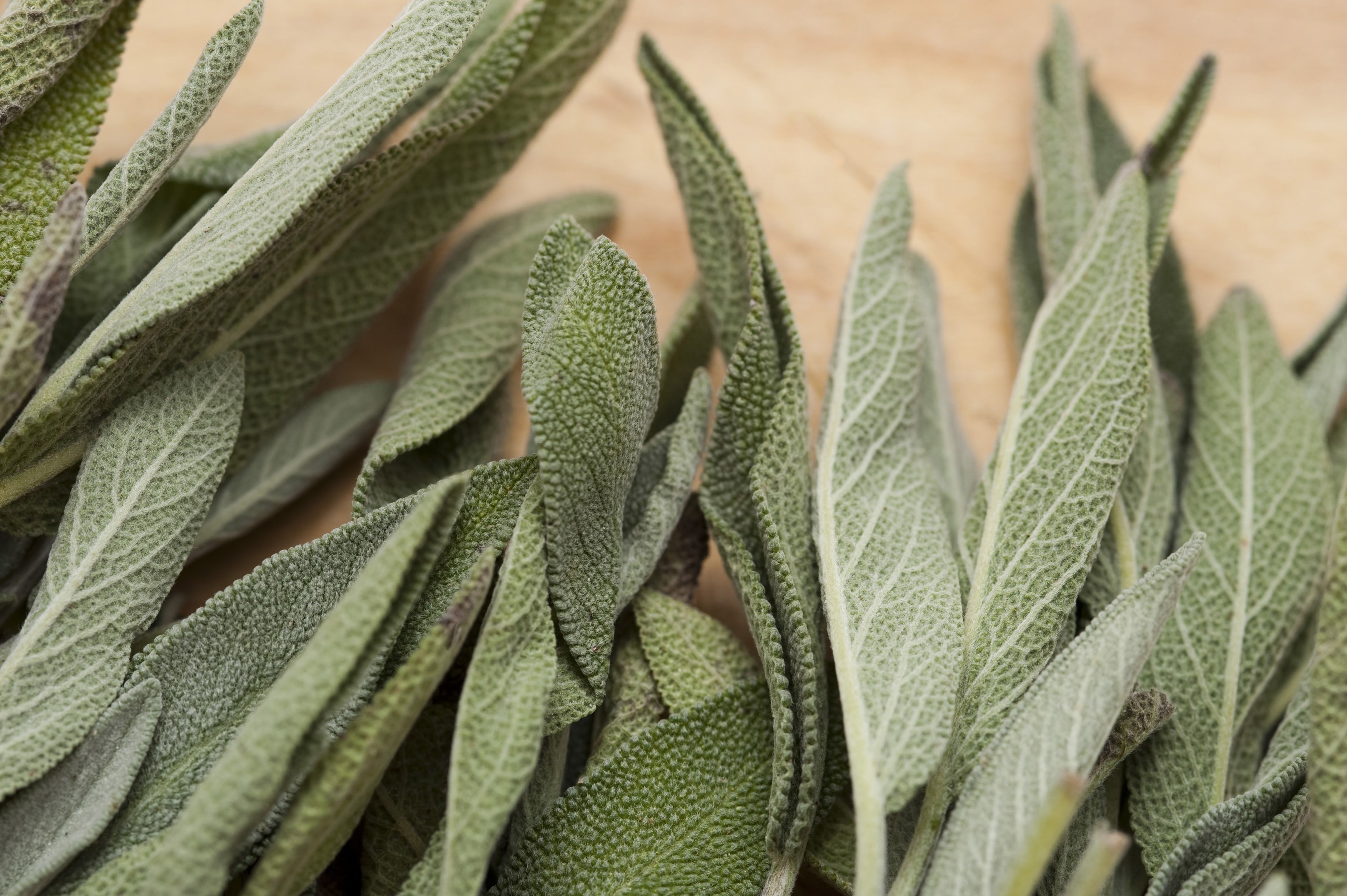 Close up of fresh whole sage leaves an aromatic herb and seasoning used in cooking