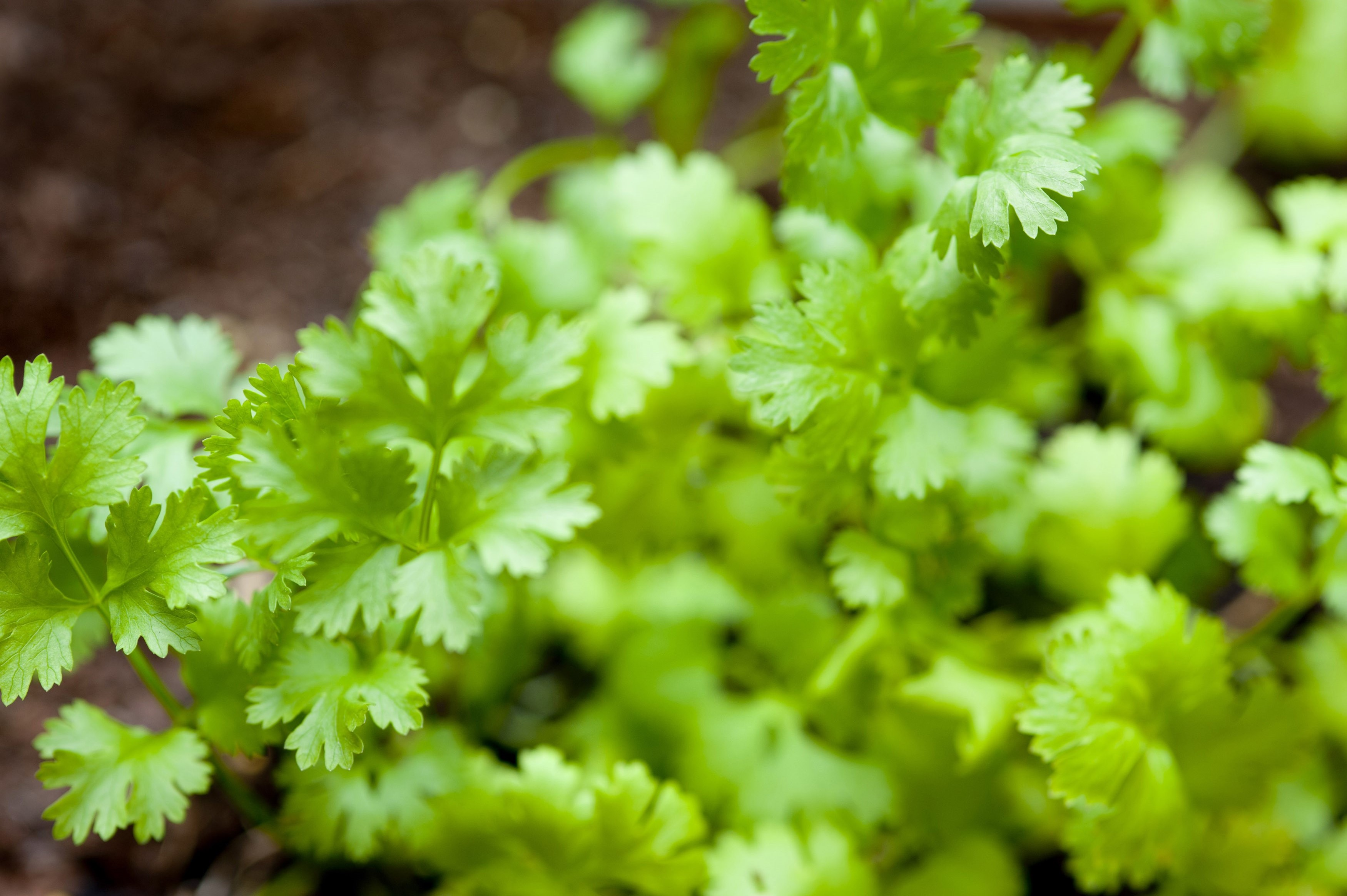 Closeup with shallow dof of fresh growing coriander used as a garnish and seasoning in cookery