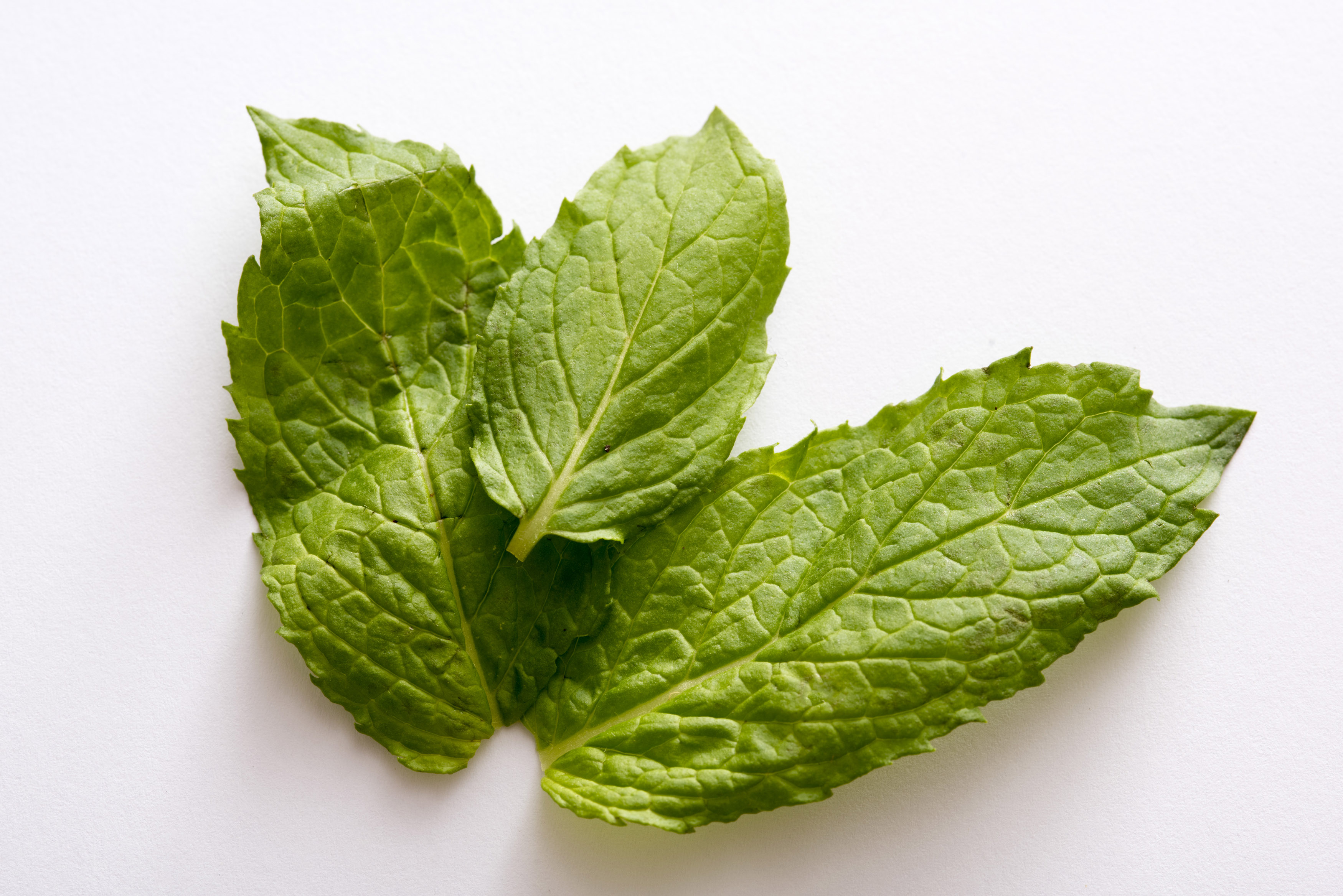 Three fresh green aromatic peppermint leaves for use as a garnish or cooking ingredient over a white background in close up