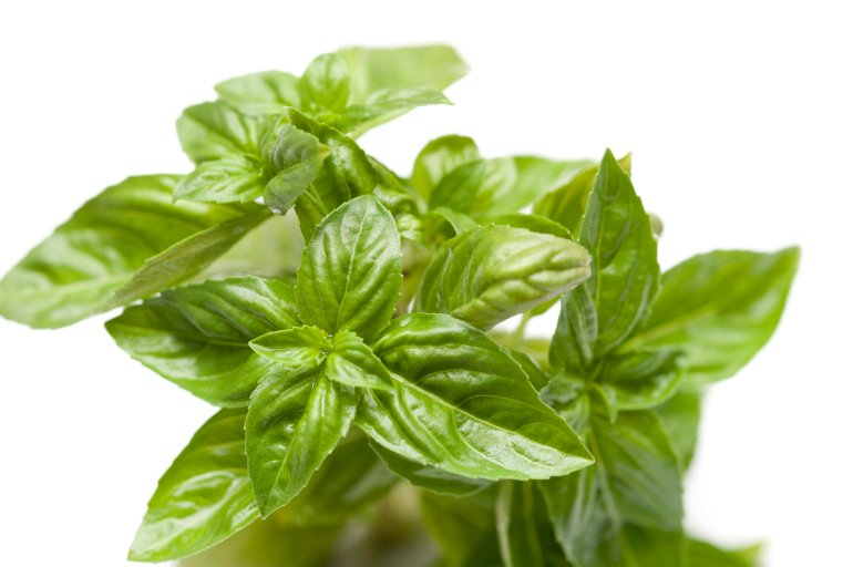 Fresh basil plant whose leaves are used extensively in cookery as a garnish and as a herb seasoning ingredient isolated on white