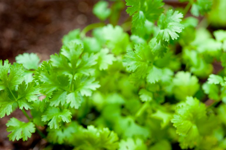 Fresh Growing Coriander Free Stock Image