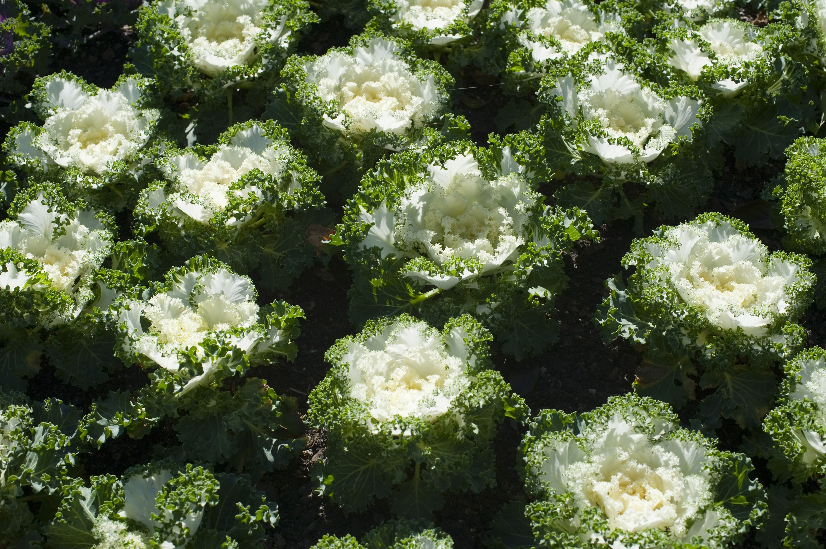 Agricultural crop of dense flowering green cabbages with white centres for a healthy vegetarian diet or as a vegetable accompaniment to meals