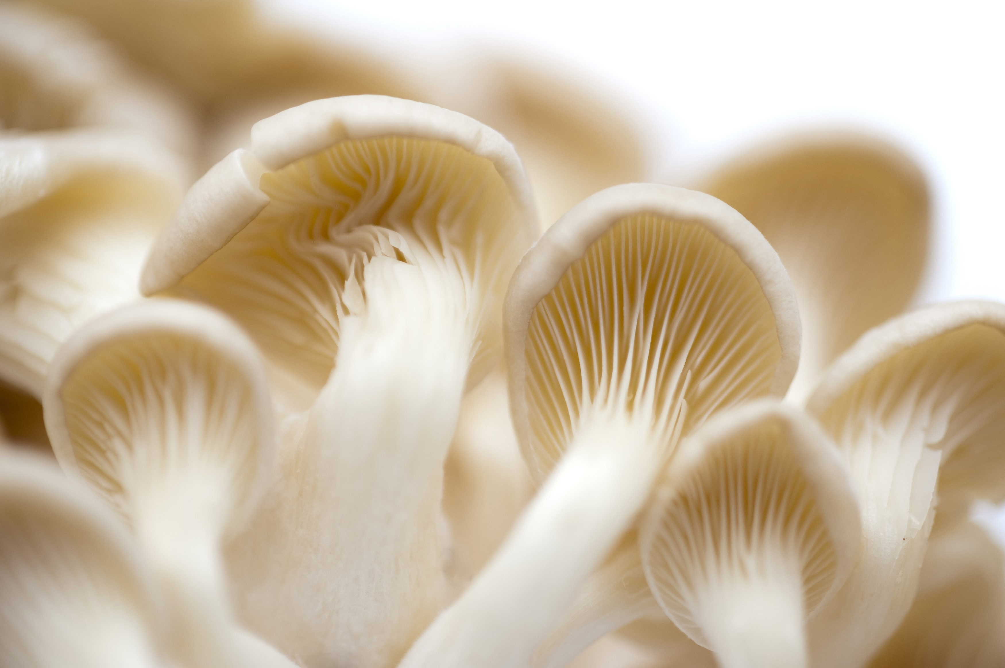 View from underneath of the gills and caps of fresh white oyster mushrooms which have a delicate flavour and are used as a cooking ingredient and vegetable