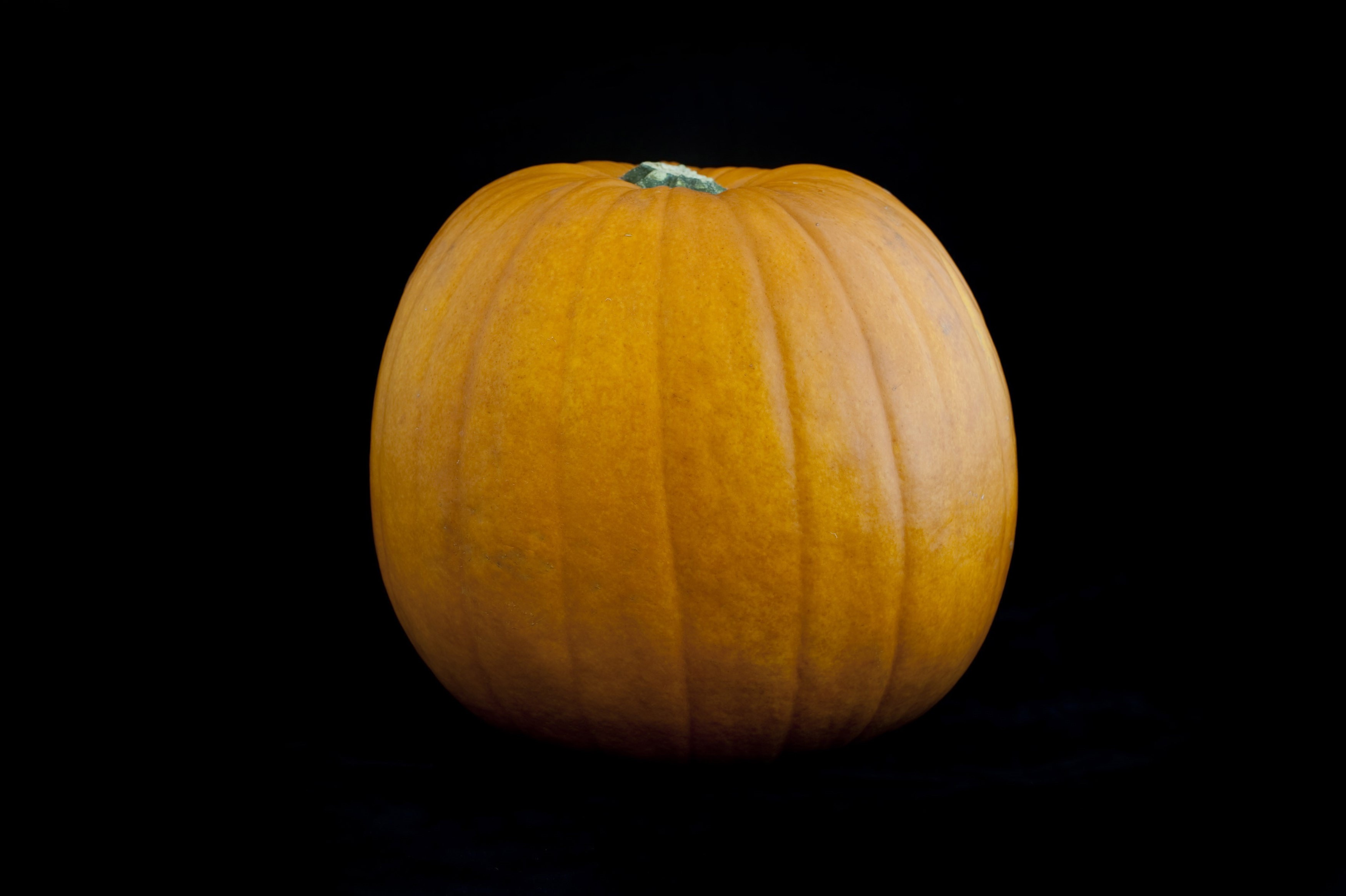 Fresh whole seasonal autumn or fall pumpkin on a dark studio background
